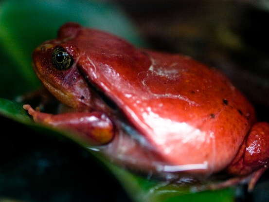 tomato frog - things that are red