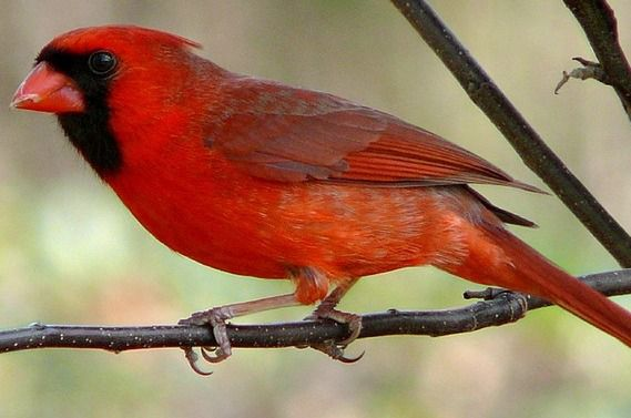 Northern Cardinal - things that are red