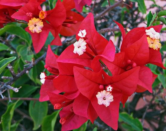 Red Bougainvillea - things that are red