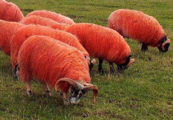 Red Sheep - things that are red