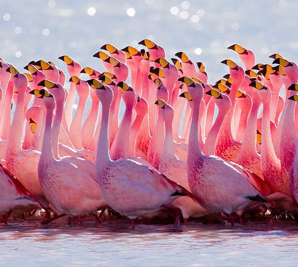 American _Flamingo