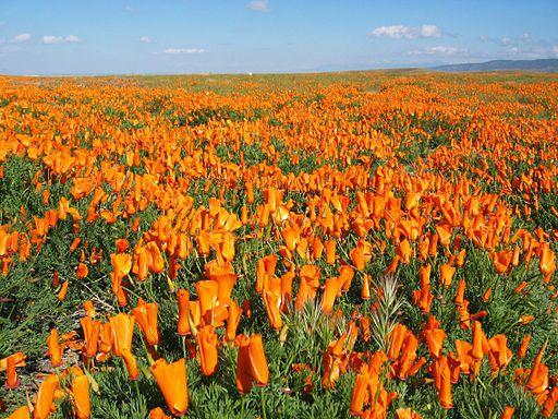 California Poppy - things that are orange