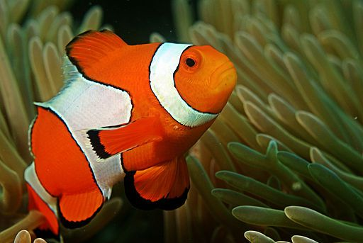 Clown fish - things that are orange