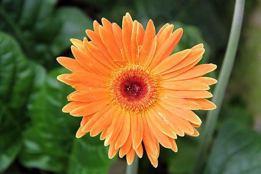 Gerbera - things that are orange