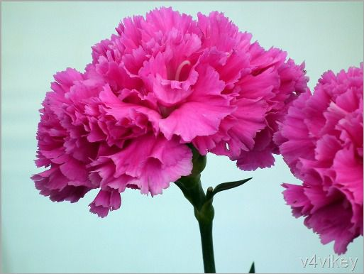 Pink_Carnation