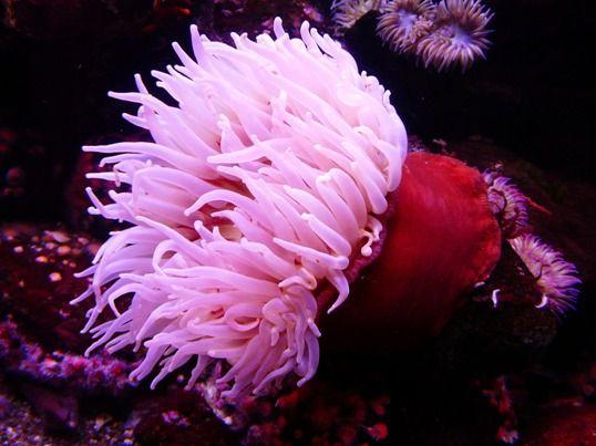 Pink_Sea_Anemone