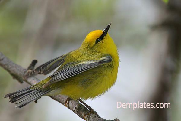 Backmans Warbler