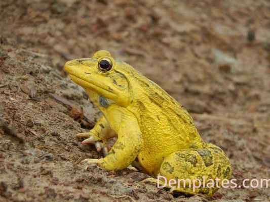 Yellow Frog - Things that are yellow