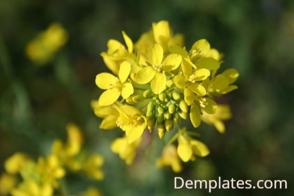 Mustard Flower - Things that are yellow