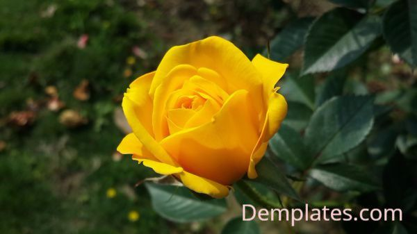 Yellow Rose - Things That are Yellow