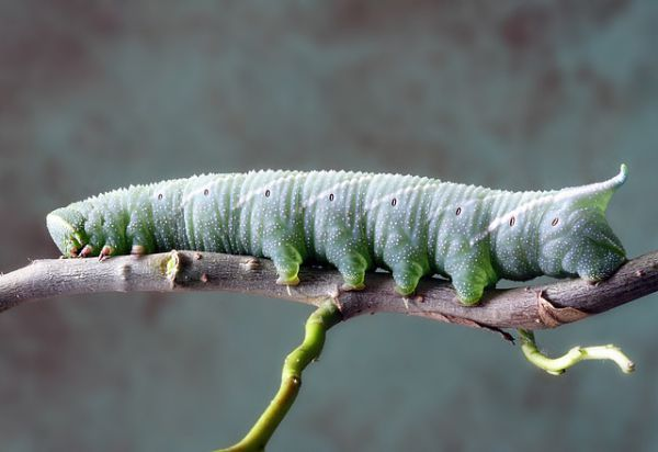 Cabbage Maggot - Things that are green
