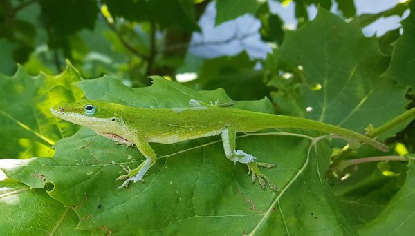 Green Anole - Things that are green