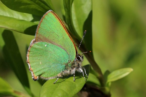 Green Hairstreak - Things that are green