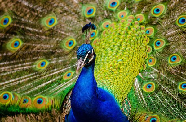 Green Peafowl - Things that are green