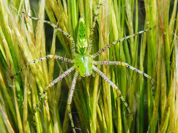 Green Lynx Spider - Things that are green