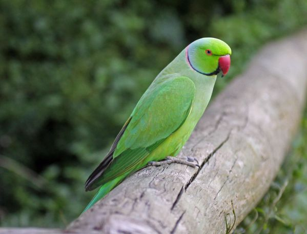 Indian Ringneck Parakeets - Things that are green