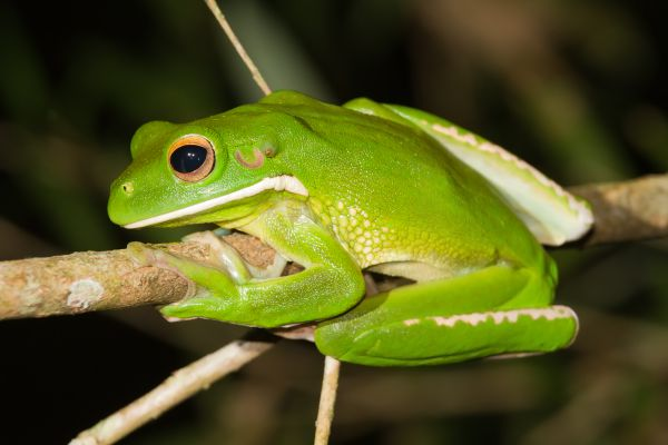 Northern Green Frog - Things that are green