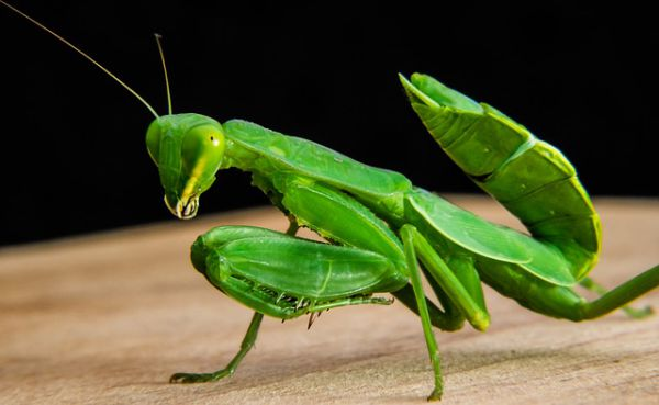 Praying mantis - Things that are green