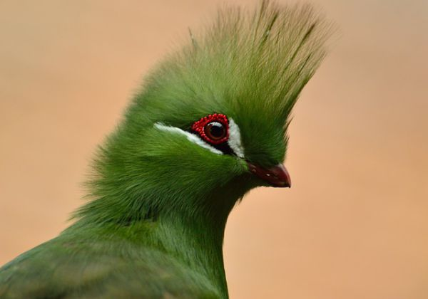 Turaco - things that are green